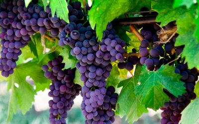 Abide in Me: Lessons From a Fruit-Bearing Vine